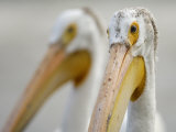 Close Up of an American White Pelican