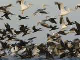 American White Pelicans and Double-Crested Cormorants Taking Flight