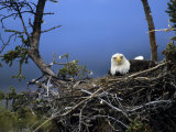 Bald Eagle Sits on its Nest in Alaska