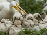 American White Pelican Guarding Chicks at a Rookery