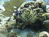 Juvenile Spotted Drum and Anemone on the Reefs Near Cozumel  Mexico