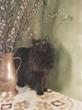 Black Persian Cat Stares Intently at a Vase of Pussy Willows