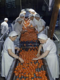 Tomato Factory Workers Remove Bruised Fruit from a Conveyor Belt