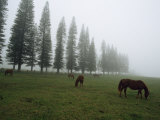 Horses Graze in Fog Near a Stand of Norfolk Island Pine Trees