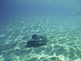 Sting Rays Offshore of Moorea