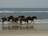 Wild Horses Run on the Beach in Assateague  Maryland