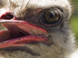 Close View of an Emu's Face