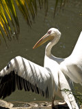 Close View of a Pelican