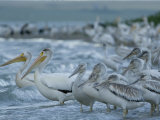 American Whites Gather on the Shores of Medicine Lake with Juveniles