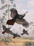Flushed Out of Hiding  Wild Turkeys Take Flight Near Tall Pine Trees