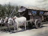 Zebu Cattle and a Covered Wagon Carry Sugar Cane to the Mills