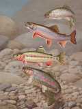 Four Species of Trout  Rarely Seen Together  Depicted in Wind River