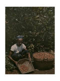 Coffee Picker Rests with a Basket of Berries