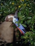 Endangered Cassowary Cranes its Long Colorful Neck to Reach Fruit