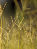 Sunset Catches the Seeding Heads of Wild Grasses in a Native Grassland