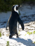 Jackass Penguin on the Beach in South Africa