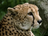 Male Cheetah with a Beautiful Lush Coat of Spotted Fur