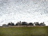 Turtles Warm Themselves on a Lake Bank in Naples  Florida