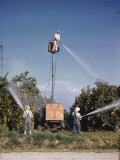 Men Spray Pesticides on Citrus Trees