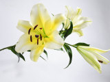 White and Yellow Lily with Buds