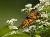 Monarch Butterfly  Danaus Plexippus  on a Blooming Shrub