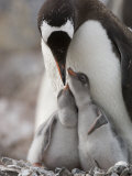 Gentoo Penguin Feeding its Two Chicks
