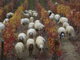 Sheep Grazing in a Vineyard in the Fall