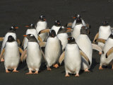 Group of Gentoo Penguins on a Black Beach
