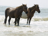 Wild Horses Bathe in the Atlantic Ocean Off the Coast of Maryland