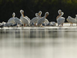 American White Pelicans and Other Birds in Florida Wintering Grounds