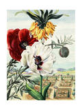 Painting of Crown Imperial Poppy with White and Red Oriental Poppies