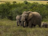 Group of African Elephants Including Juvenile and a Baby