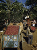 Coffee Growers Fill Decorated Oxcart with Harvested Coffee Beans