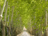 Alley of Trees Leading Up to a House in Aix En Provence