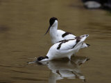 Pair of Avocets  Recurvirostra Avosetta  Hunting Prey in Water