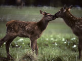 Calf Elk Get to Know Each Other