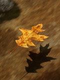 Oak Leaf Floating Down Big Creek