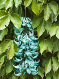 Close Up of Jade Vine  Strongylodon Macrobotrys  Native to Indonesia