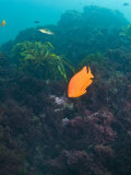 Garibaldi Fish Swimming over Algae Encrusted Reef  Hypsypops Rubicundi