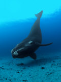 Southern Right Whale Hovers Inches over the Sandy Seafloor