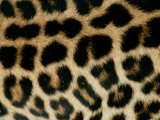 Detail of the Rosette Spots on a Leopard&#39;s Coat  Panthera Pardus