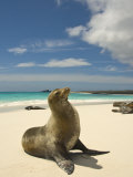 Galapagos Sea Lions Resting on a White Beach