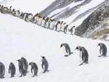 King Penguins Marching Down a Snow-Covered Hill