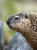 Woodchuck Watches from the Safety of a Rock Pile