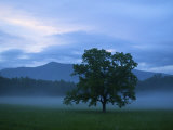 Hickory Tree in a Misty Landscape at Cades Cove