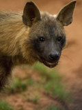 Close Up Portrait of a Brown Hyena