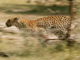Leopard  Panthera Pardus  Running Through the Woods