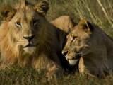 Male and Female African Lions  Panthera Leo  Lying Together