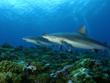 Gray Reef Sharks Swimming over Coral Reef