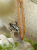 American White Pelican Chick Nuzzling Parent&#39;s Bill for Food